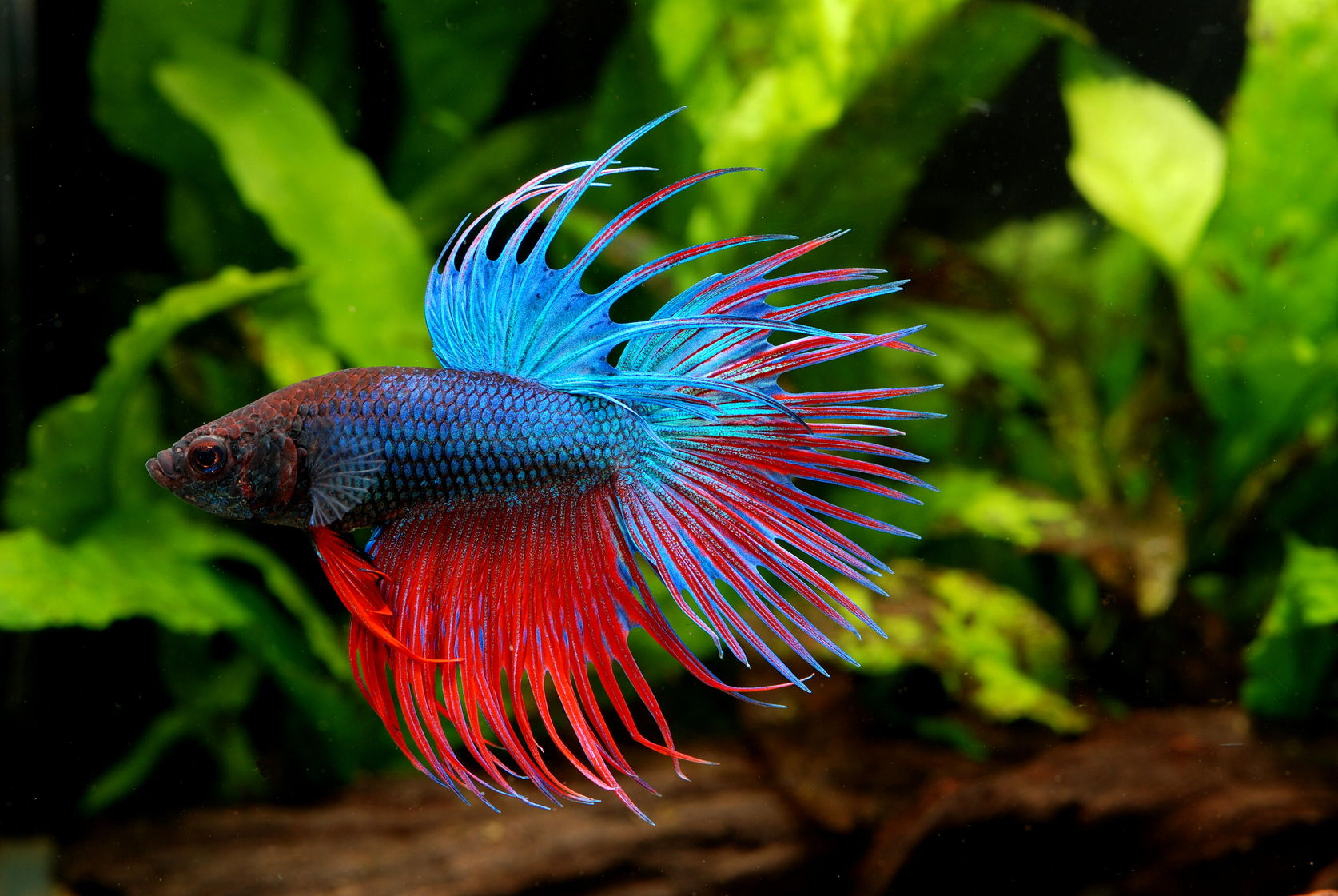 Betta fish or siamese fighting fish betta splendens for Can you use distilled water for betta fish