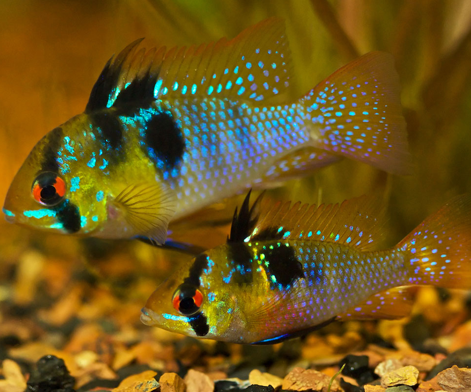 Sexual dimorphism in discus fish
