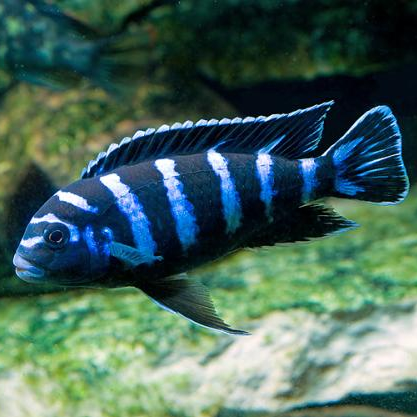 Buy live Demasoni Cichlids from a trusted breeder. All orders shipped ...
