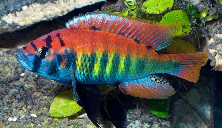 Nyererei : Pundamilia nyererei, Pundamilia Nyererei Cichlid Aquarium Finatics