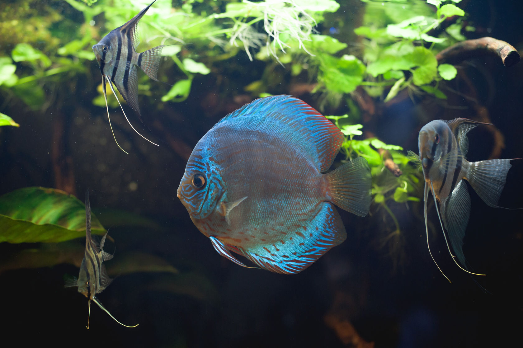 Angelfish and Discus in a planted tank.