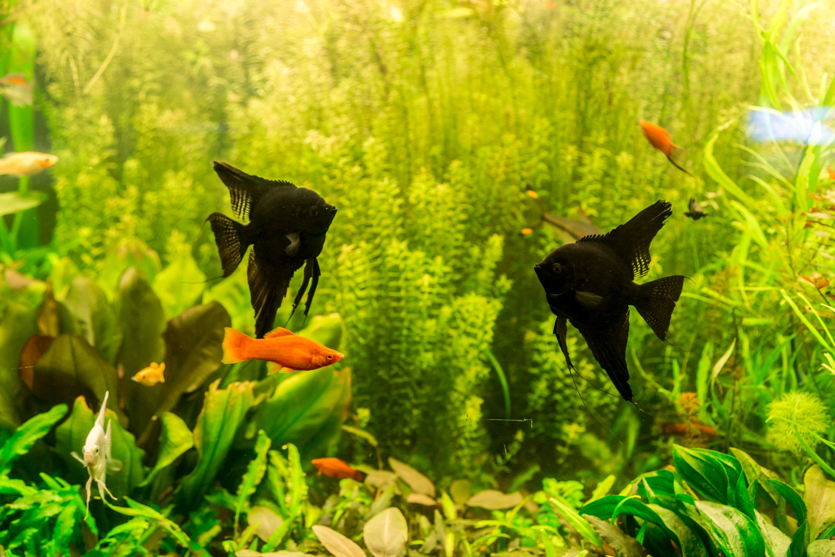 Freshwater aquarium fish angelfish - Aquarium Filters
