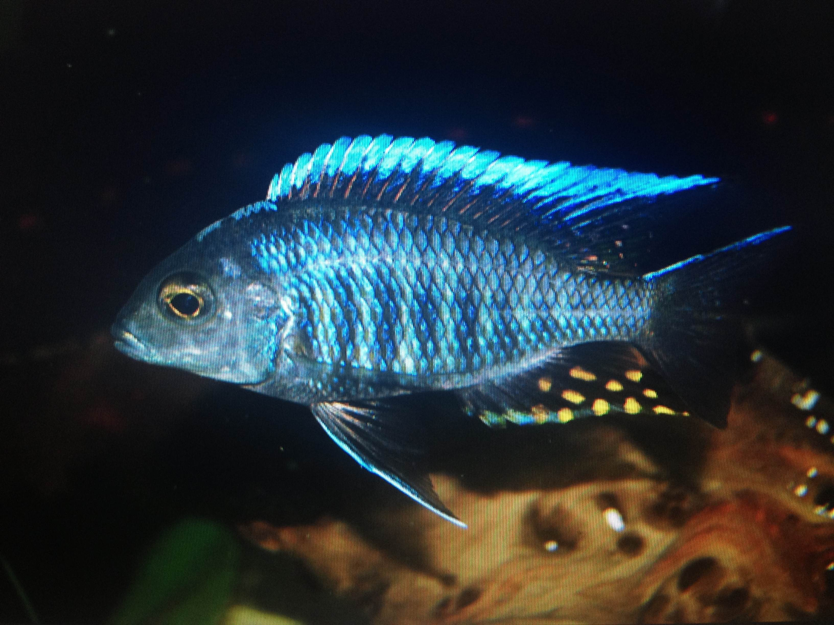 Aulonocara kandeense, Blue Orchid Peacock Cichlid