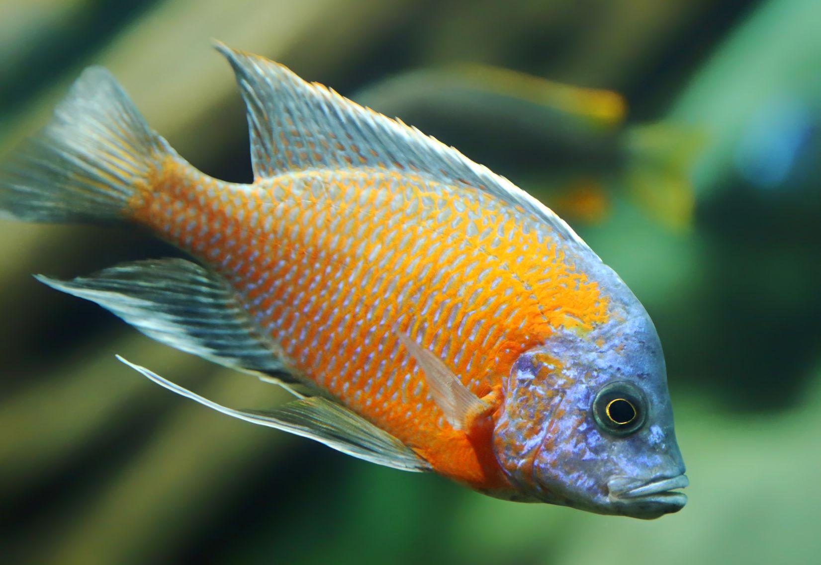 Copadichromis borleyi kadango red fin borleyi cichlid Freshwater fish with red fins