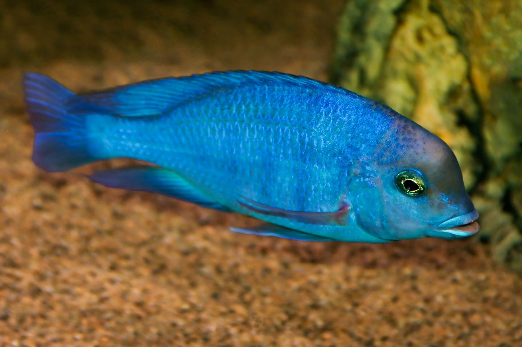 Blue Dolphin Cichlid | www.pixshark.com - Images Galleries ...