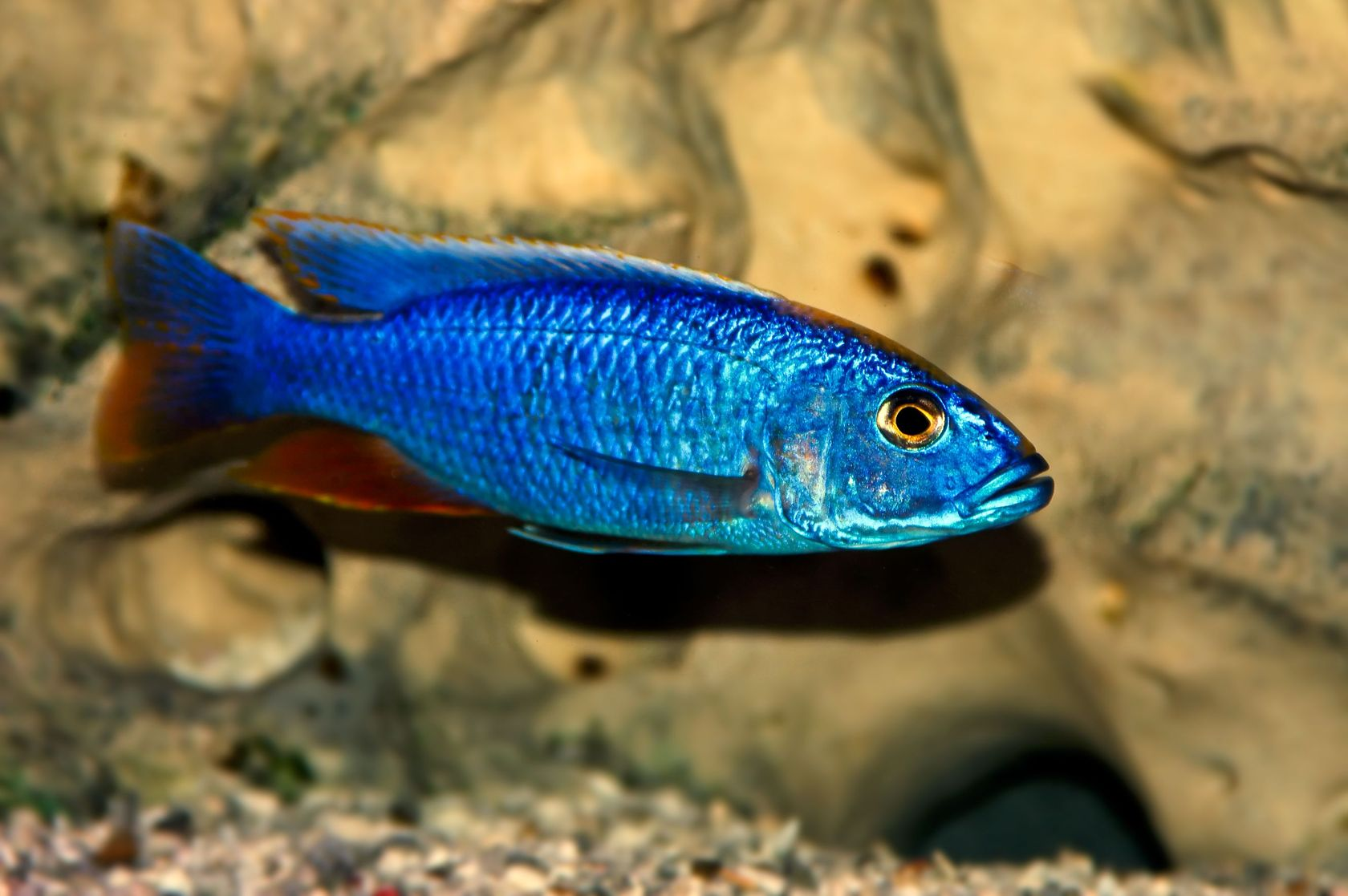 electric blue african cichlid - photo #43