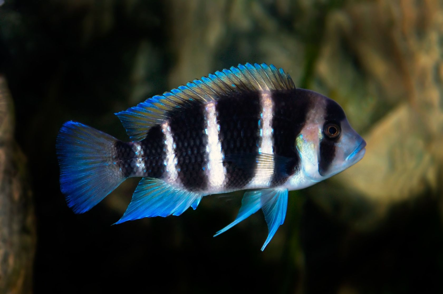 Cyphotilapia frontosa, Frontosa Cichlid