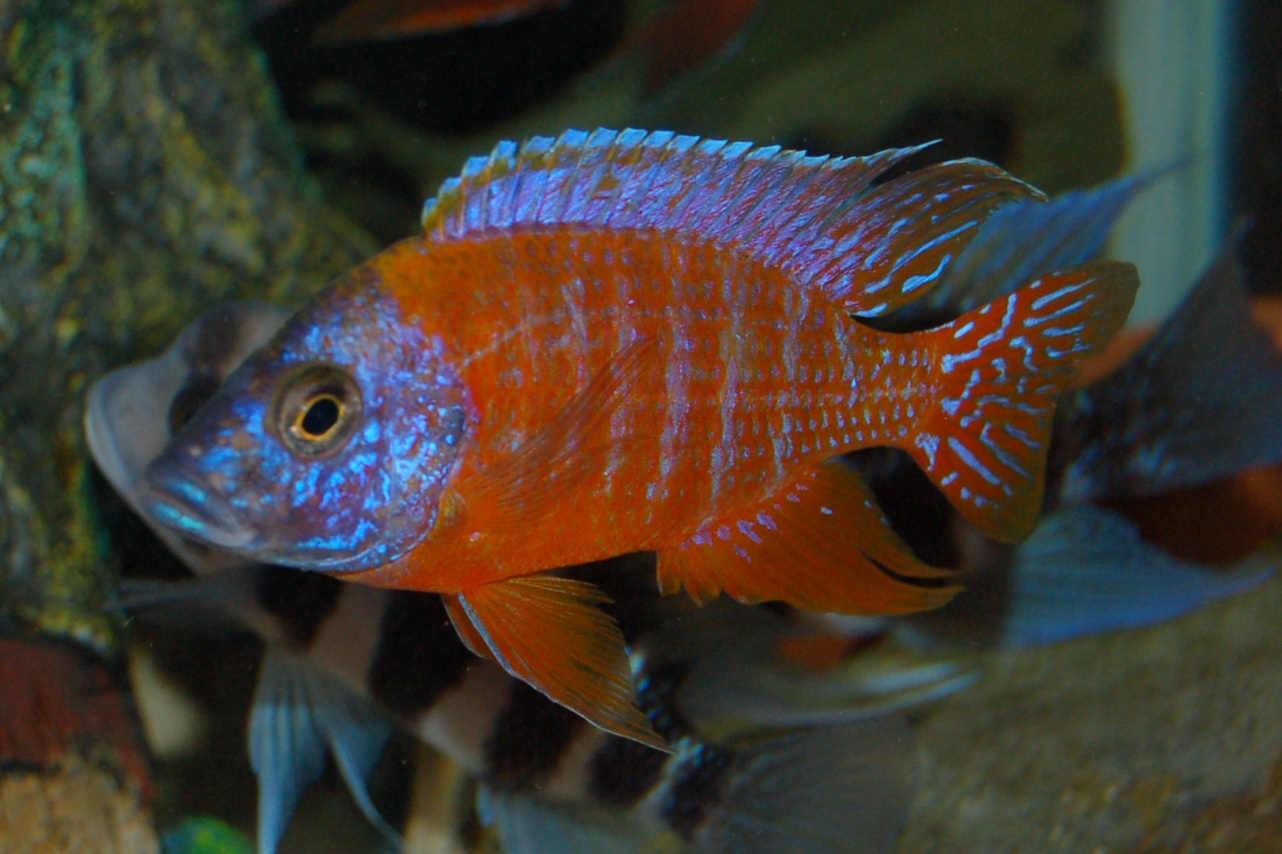 Aulonocara german red german red peacock cichlid for African cichlid fish