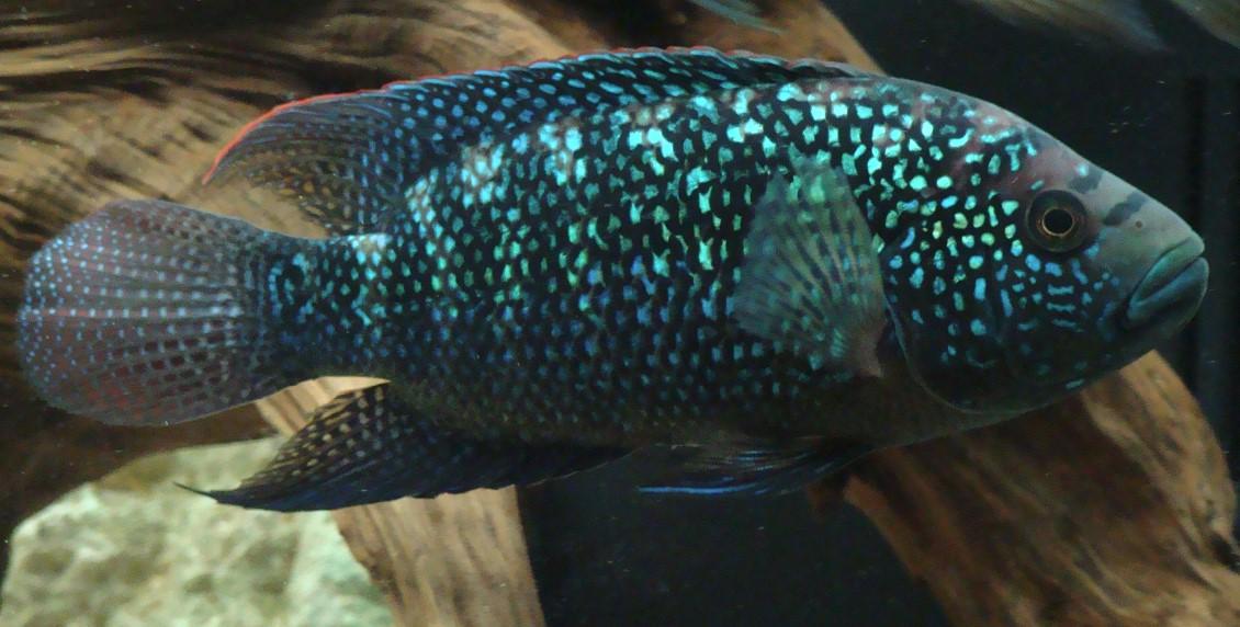 Cichlasoma octofasciatum jack dempsy cichlid aquarium for Jack dempsy fish