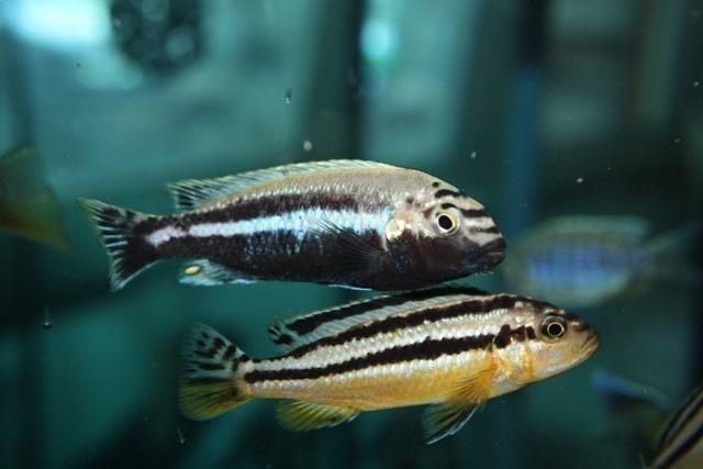 Auratus (Melanochromis Auratus)