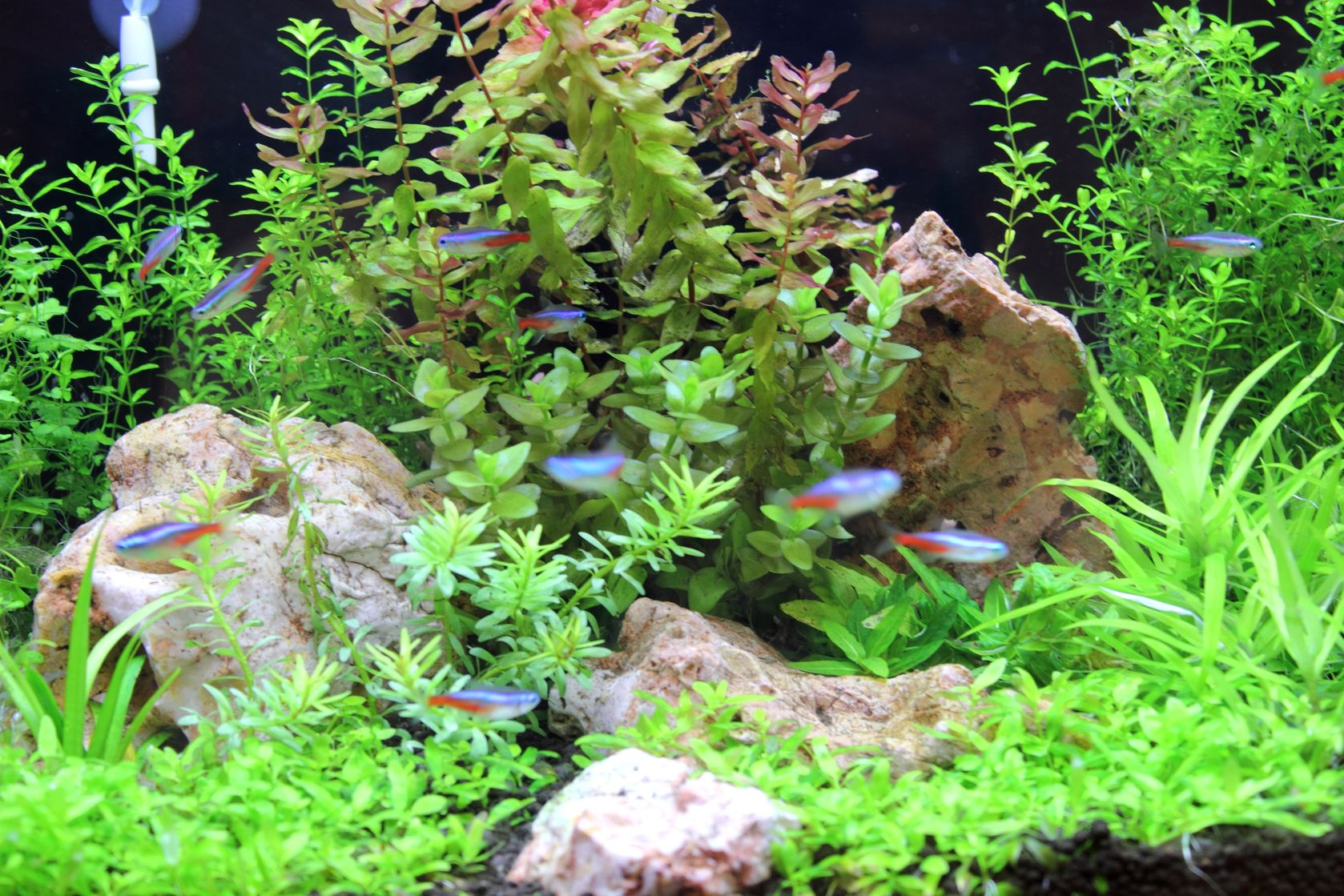 A beautiful planted tank with several Neon Tetras.