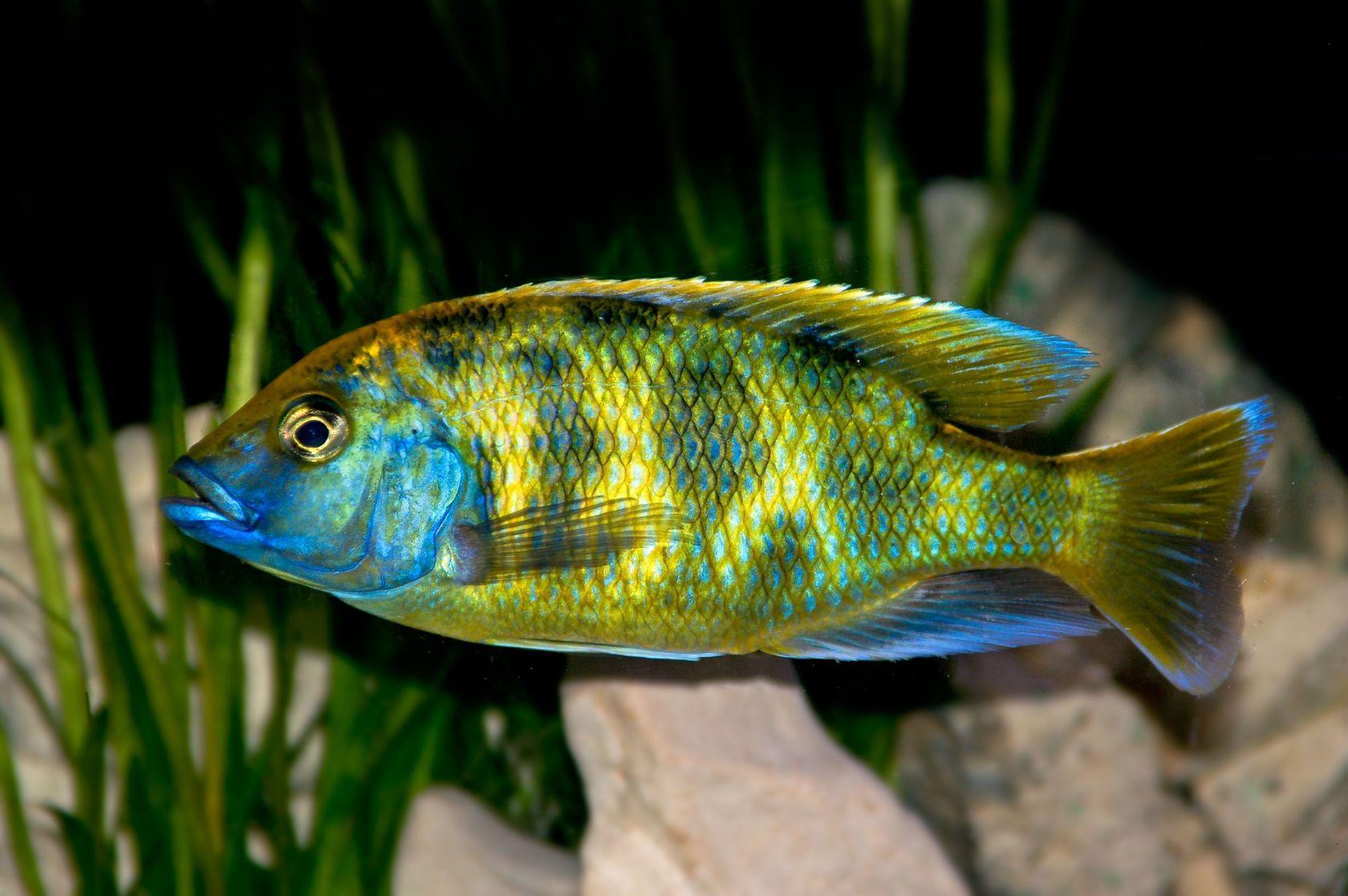 Nimbochromis venustus venustus cichlid aquarium finatics for African cichlid fish