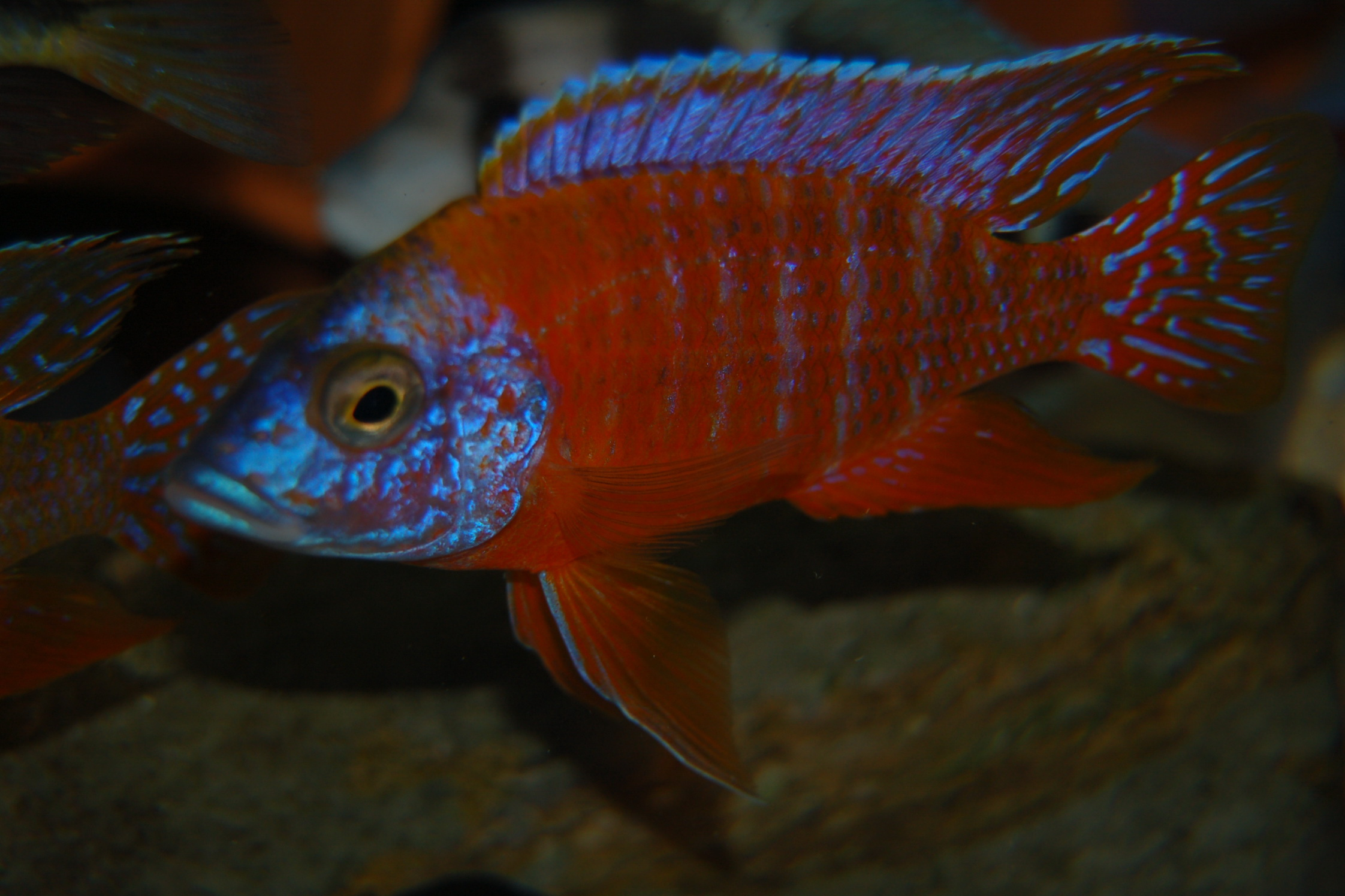 Aulonocara Rubescens, Ruby Red Peacock Cichlid