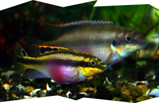 A pair of Pelvicachromis pulcher or more commonly known as Kribensis