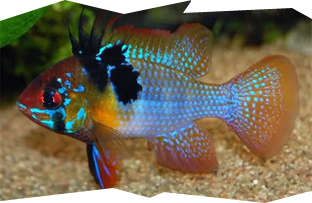 The German Blue Ram is one of the most popular Dwarf cichlids
