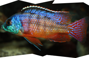 A brighly colored male Red Empress cichlid, Protomelas taeniolatus