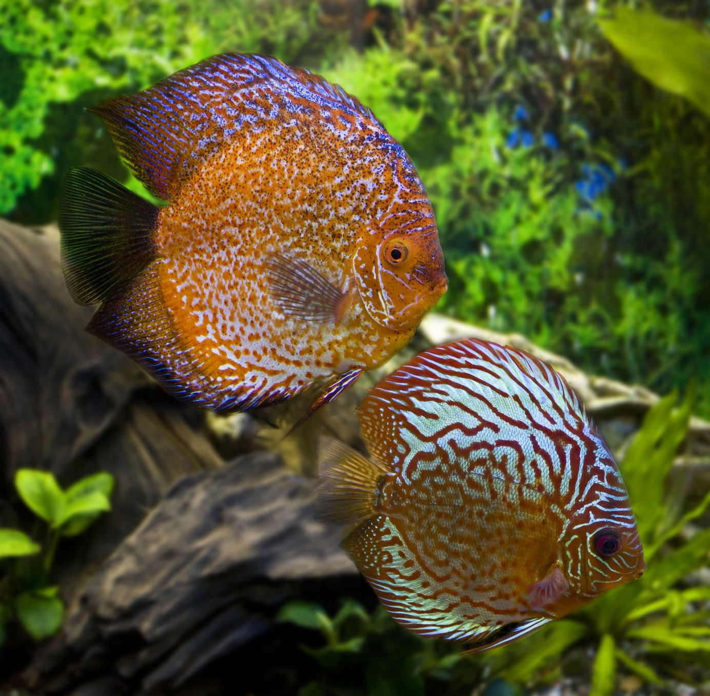 Discus fish are by far the most popular of the South American cichlids